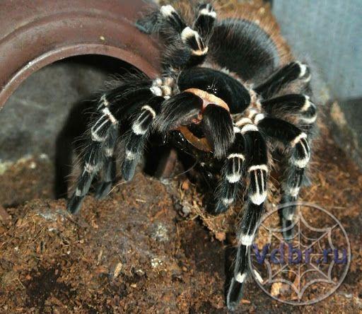 взрослая самка acantoschurria geniculata паук птицеед павук птахоїд