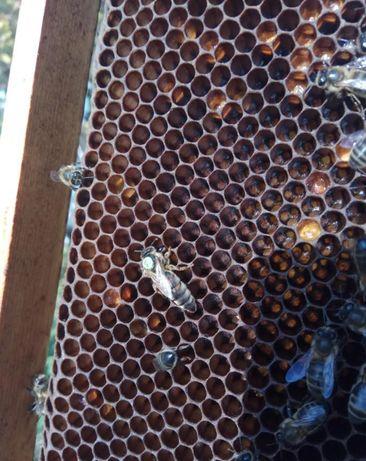 Первая репродукція F1 Carnica Матка пчелиная От Матки F0 Г.Маха