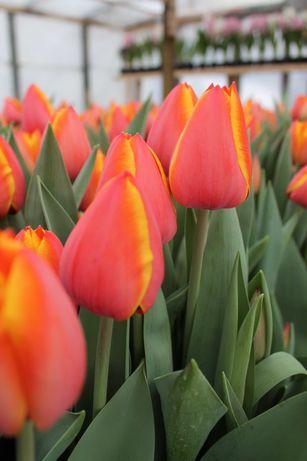 Продам луковицу тюльпана Форготтен Дримс