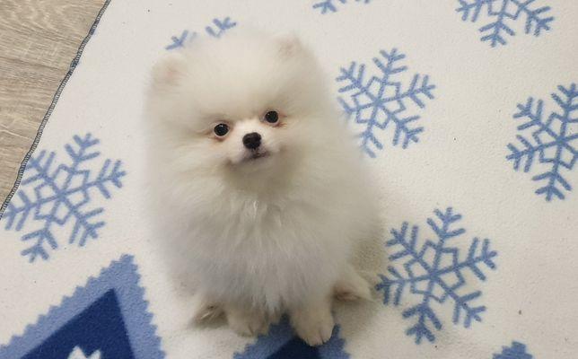 Белый мальчик Мини размера,вырастит до 2 кг.