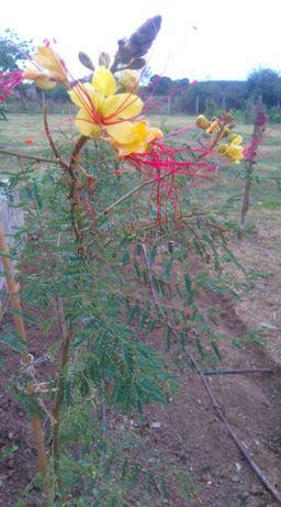 nasiona-brezylka cytrynowa