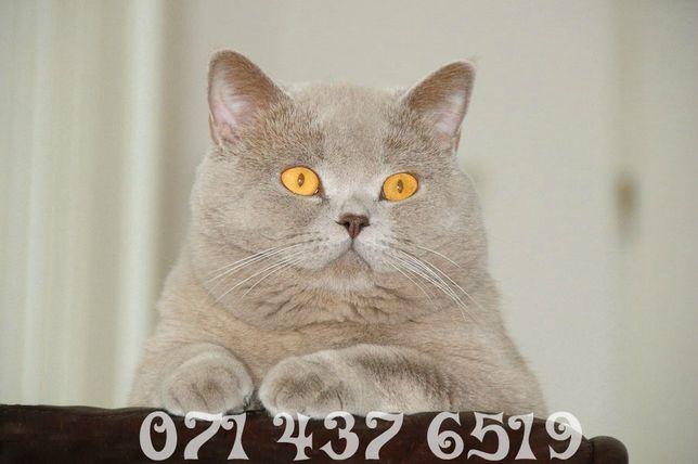 Продам молодого кота ,порода скоттиш страйт ,1.5 года - 1500 руб.