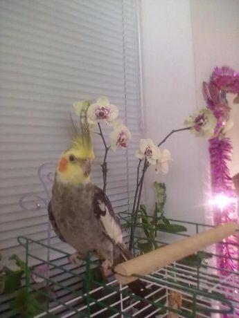 Пропал (улетел) попугай Карелла