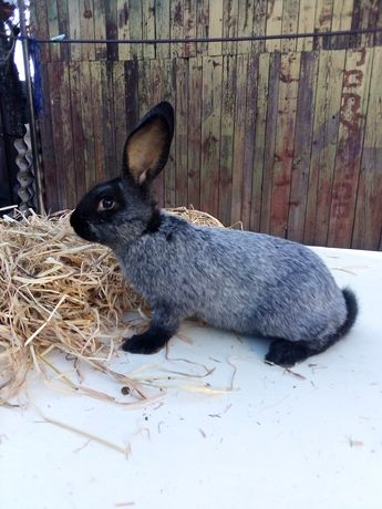 Кролики Полтавское серебро (ПС)