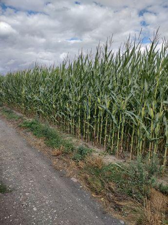 Kukurydza na pniu kiszonka