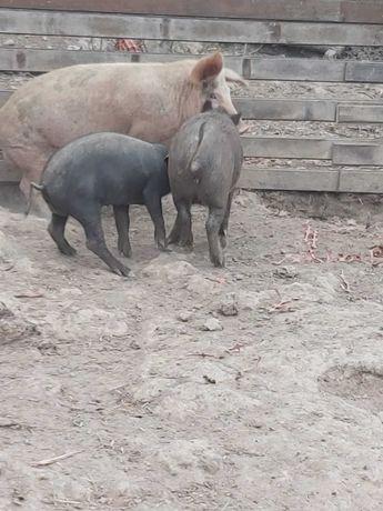 Vendo cabras ovelhas e porcos urgente