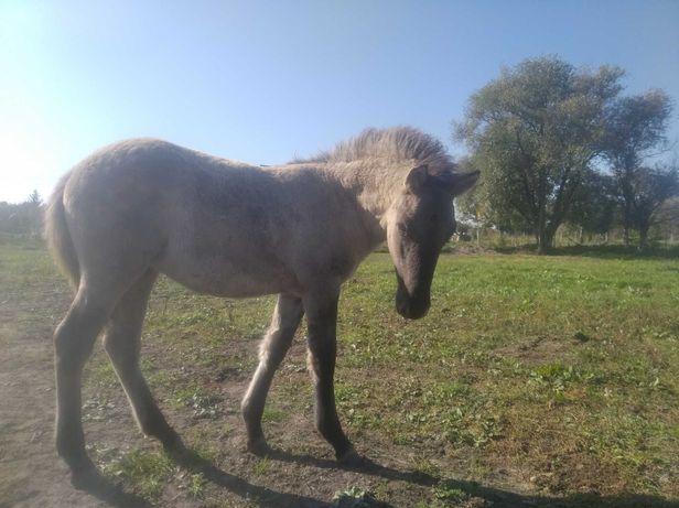 Konie polskie klaczka i ogierki odsadki