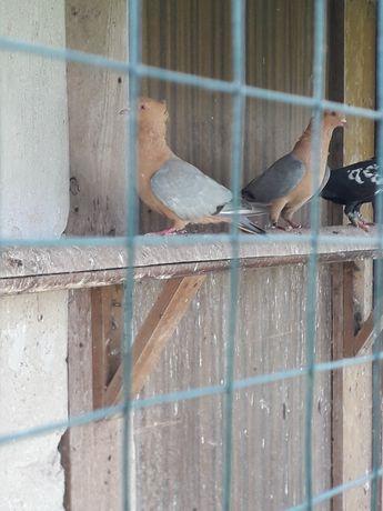 Gile samiec samica gołębie ozdobne
