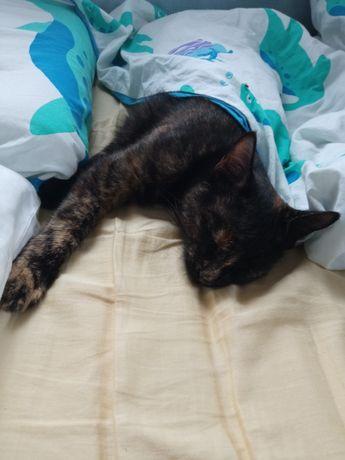 Kotka szylkretowa