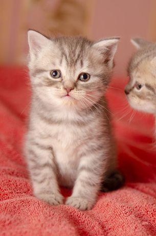 Котята, котики скоттиш страйт