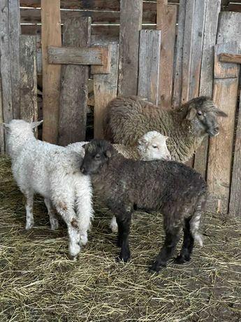 Барашки, ягнята, овцы