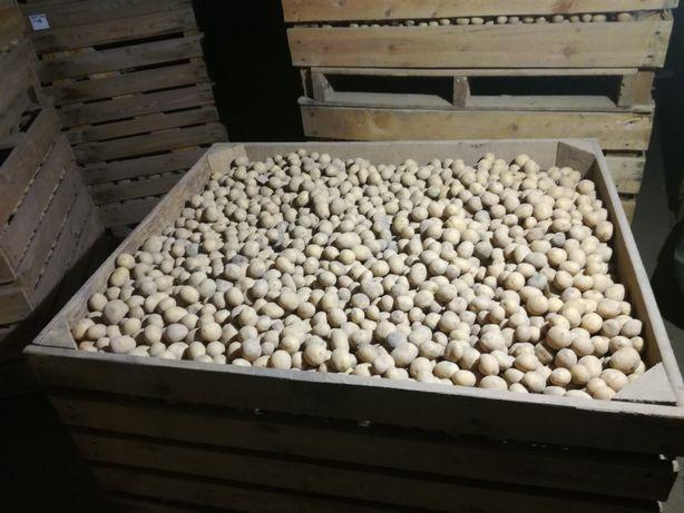 Ziemniaki MADEIRA śr.28-45