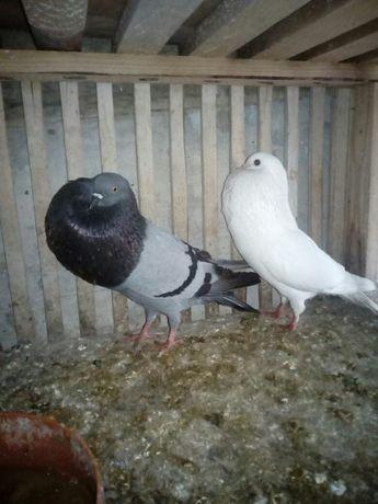 Gołębie sztaficery