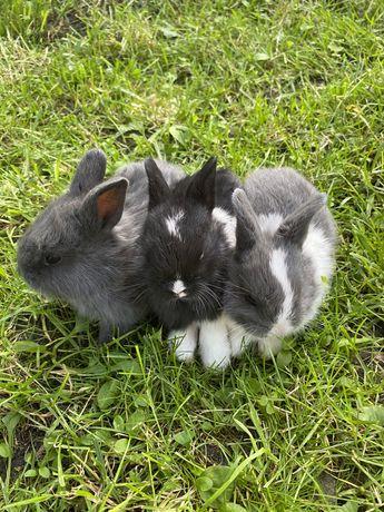 Кролики декоратывные