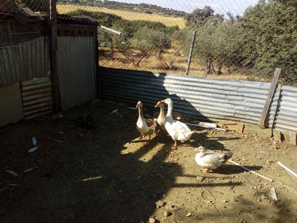 Vendo patos gansos com 1 ano