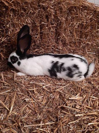 Sprzedam króliki Samce Srokacz  NIemiecki