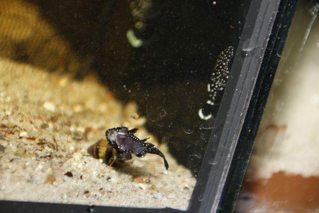 Ancistrus sp. L-181 młode 3-4 cm.