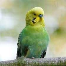 smycz dla papugi