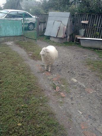 Продам, молоду вівцю