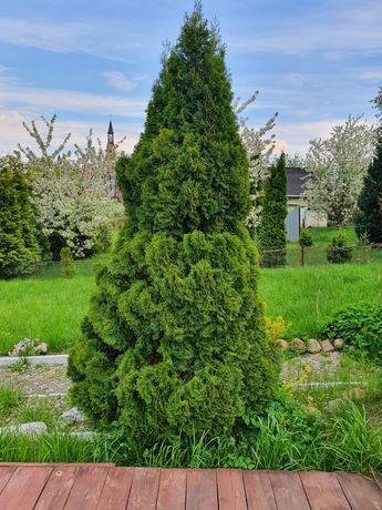 Tuja, tuje, drzewka ozdobne, krzewy.
