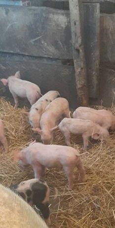 Porcos boa qualidade