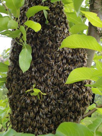 Pszczoły, ule wielkopolskie z pszczołami
