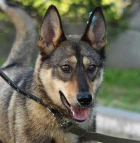 Красивая собака Ариша, собачка - волчок, 10 мес, некрупная