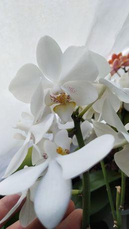 Орхидея, phalaenopsis.