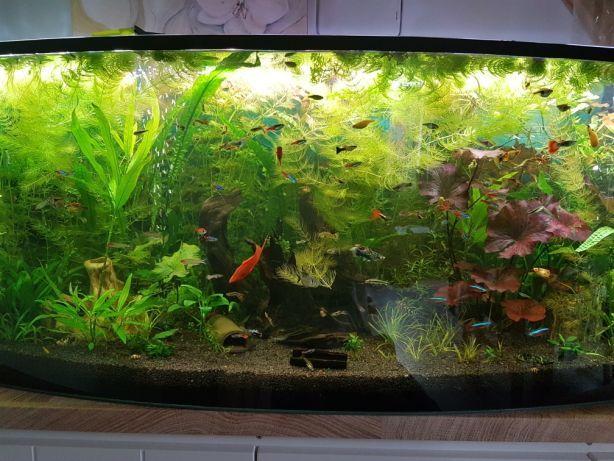 Glonojad Zbrojnik ryby rybki Akwarium