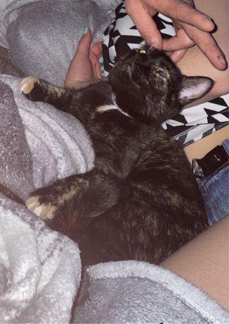 Zagineła kotka czuby