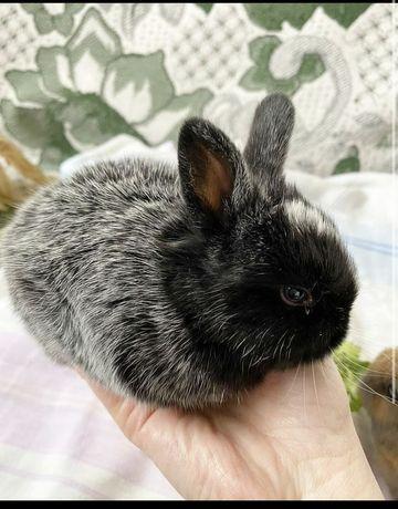 Декоративные кролики,  1 мес
