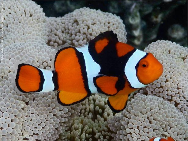 Morskie - Amphiprion percula l