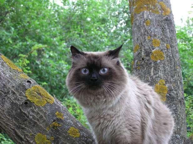 Кот чистокровный невский маскарадный (колор поинт) Вязка
