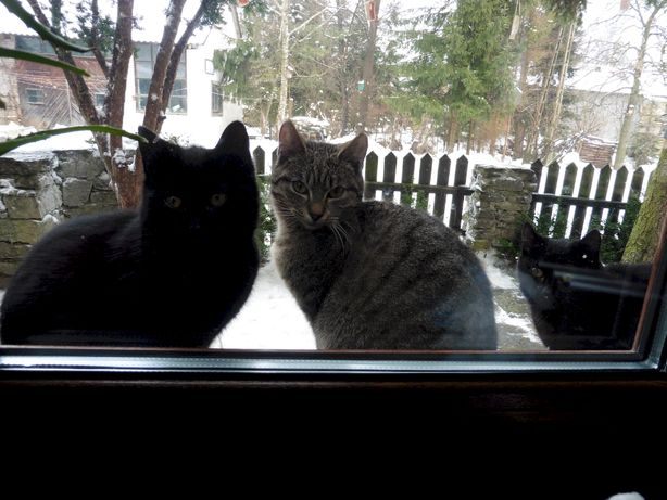 Kotek czarny 10-miesięczny, podwórkowy
