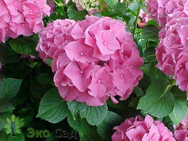 Гортензия розовая крупнолистная трехлетняя