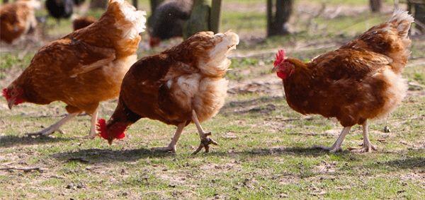 Продам кур-несушек, здоровая птица