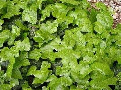 Bluszcz pospolity zimozielony hedera helix pak. 100szt roślin z gruntu