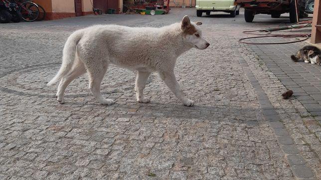 Sprzedam 5-miesięcznego psa rasy Syberian Husky