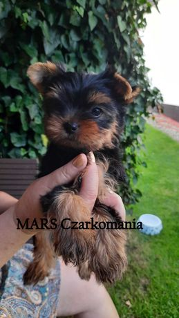 YORK piesek FCI/ZKwP yorkshire terrier