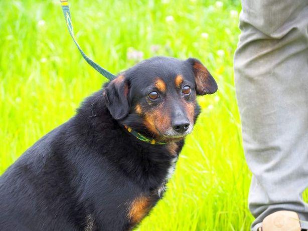 ŻAK przyjacielski psiak kochający ludzi szuka dobrego domku