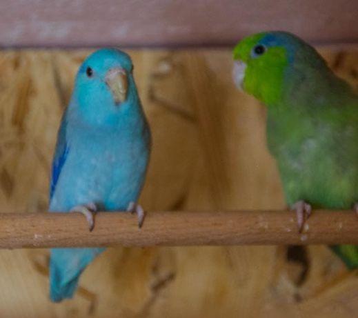 Редкий попугайчики Лессона