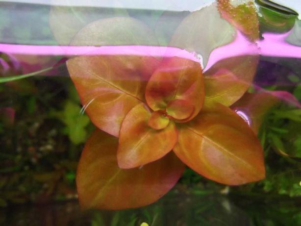 Roślinka do akwarium ludwigia mullerti
