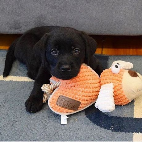 Labrador szczeniak pies
