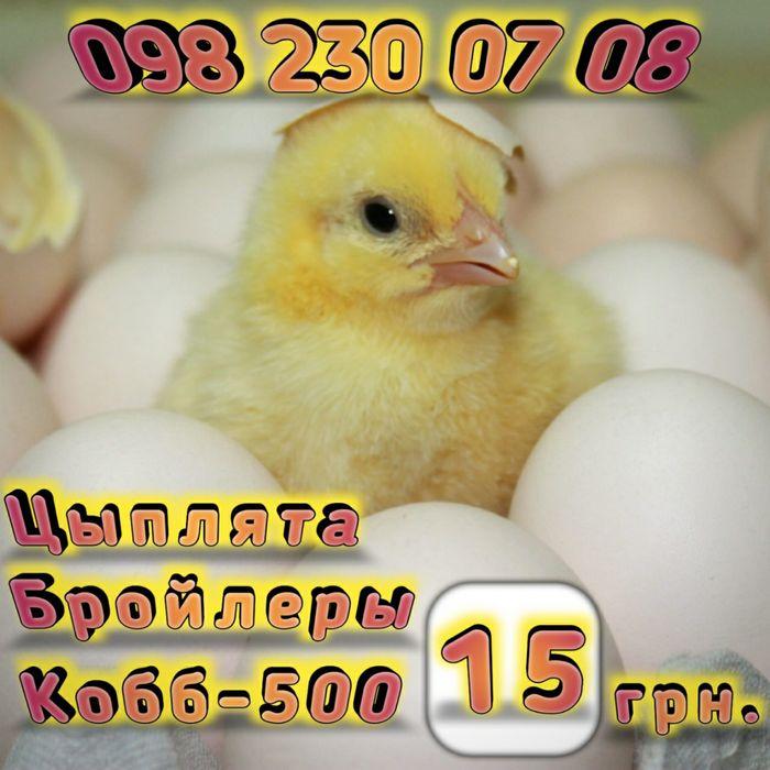 Цыплята бройлеры суточные и подрощенные-15ГРН Мариуполь - изображение 1