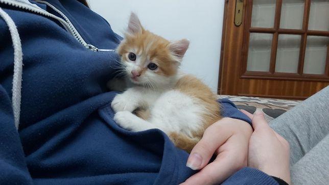 Gatos bebés cor amarelo, pelo médio longo