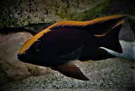 GB Malawi Otopharynx orange black dorsal pyszczaki