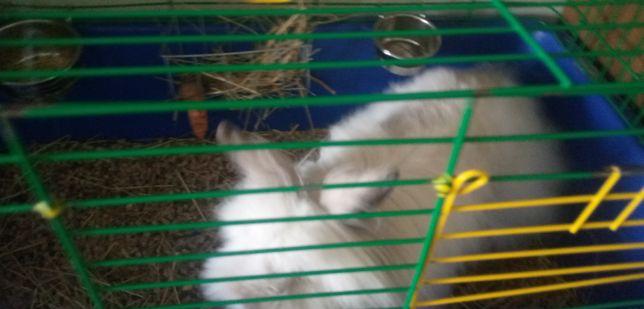 Кролик дккоративний