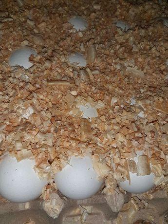 Декалб Уайт, Инкубационное яйцо