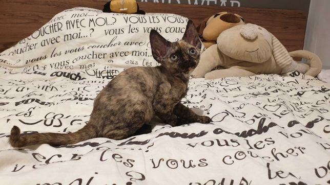Szylkretowa kotka Devon Rex