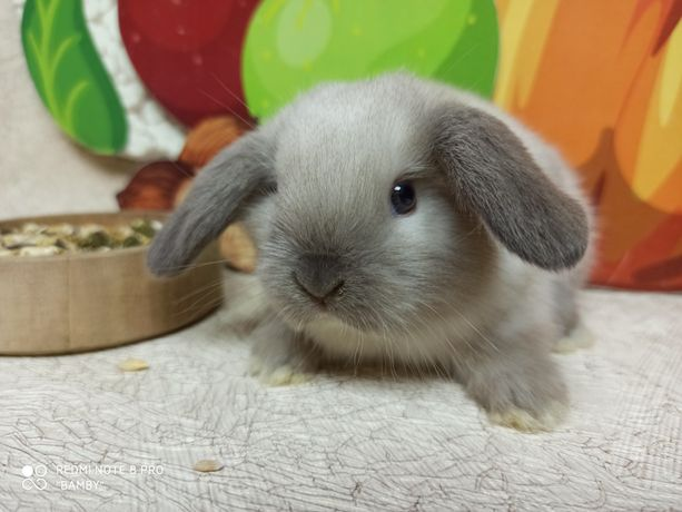 """Питомник карликовых кроликов """"BAMBY"""""""